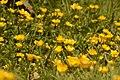 Buttercups in a damp field.jpg
