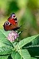 Butterfly (44735000985).jpg