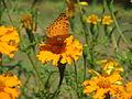 Butterfly in Uttarakhand, India (5).JPG