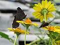Butterflys - panoramio.jpg