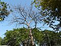 Buttressed Parasol tree (3526183526).jpg
