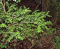 Buxus colchica 1.jpg