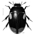COLE Hydrophilidae Cyloma thomsonus.png