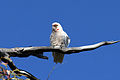 CSIRO ScienceImage 3939 Longbilled Corella.jpg
