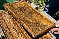 CSIRO ScienceImage 6586 A frame from a beehive at a cherry farm near Young New South Wales.jpg