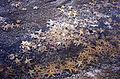 CSIRO ScienceImage 876 Asterias amurensis Northern Pacific Seastar.jpg