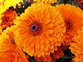 Calendula officinalis-2.JPG