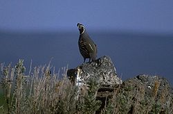 Quail Are Common In The Goose Lake Valley