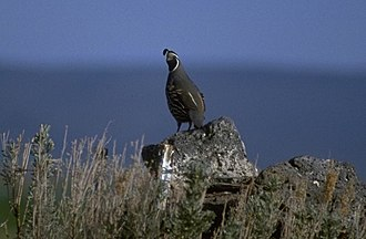 Goose Lake Valley - Quail are common in the Goose Lake Valley
