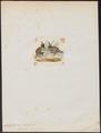 Callipepla gambelii - 1820-1863 - Print - Iconographia Zoologica - Special Collections University of Amsterdam - UBA01 IZ17100259.tif