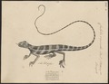 Calotes versicolor - 1700-1880 - Print - Iconographia Zoologica - Special Collections University of Amsterdam - UBA01 IZ12700039.tif
