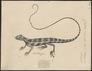 Calotes versicolor - 1700-1880 - Print - Iconographia Zoologica - Special Collections University of Amsterdam - UBA01 IZ12700039.tif