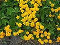 Caltha palustris f. flore pleno Fyllt hófsóley.jpg