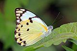 Calypso caper white (Belenois calypso calypso) male.jpg