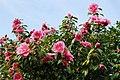 Camellia - geograph.org.uk - 679056.jpg