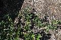 Camellia sasanqua Shishigashira 1zz.jpg