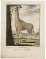Camelopardalis giraffa - 1700-1880 - Print - Iconographia Zoologica - Special Collections University of Amsterdam - UBA01 IZ21600139.tif