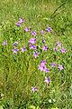 Campanula patula02.jpg