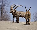Canadian Ibex (26758319).jpeg