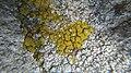 Candelariella coralliza 42830144.jpg