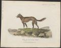 Canis dingo - 1789 - Print - Iconographia Zoologica - Special Collections University of Amsterdam - UBA01 IZ22200403.tif