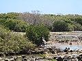 Cape Range National Park - Aigrette garzette.jpg