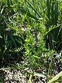 Cardamine parviflora sl7.jpg