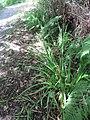 Carex pendula plant (25).jpg