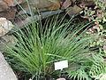 Carex secta - Palmengarten Frankfurt - DSC01921.JPG