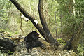 Carnivore camera- Wildlife photos from the Wild Rogue Wilderness (19538599609).jpg
