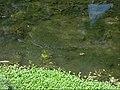 Carpas en río Dolores (o río Batán) - Dolores Hidalgo, Guanajuato.jpg