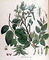 Carpinus betulus — Flora Batava — Volume v17.jpg