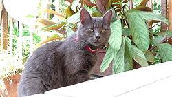 Una gata de raza Chartreux.