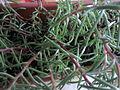 Caryophyllales - Portulaca grandiflora - 3.jpg
