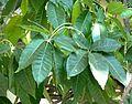 Casimiroa edulis, saamgestelde blare, Voortrekkerbad.jpg