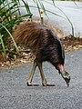 Casuarius casuarius -Australia -walking across road-8.jpg