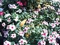 Catharanthus roseus 105.jpg