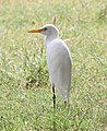 Cattle Egret (30411959671).jpg