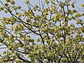 Cavanillesia platanifolia fruit flamingo gardens — Barry Stock 001.jpg