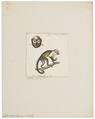 Cebus monachus - 1829-1867 - Print - Iconographia Zoologica - Special Collections University of Amsterdam - UBA01 IZ20200188.tif