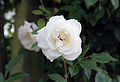 Cemetery white rose at Theydon Bois, Essex, England.JPG