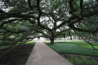 Quercus virginiana - The Century Tree at Texas A&M University in College Station, Texas