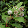 Cephalanthus occidentalis B.jpg