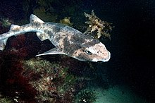 A shark with gray mottling and a rounded body and head swims just over a bed of seaweed
