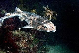Australian swellshark Species of shark