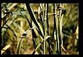 Cephalosporium gramineum = 小麦茎斑病の品種間差.jpg