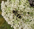 Cerambycidae Clytus.jpg