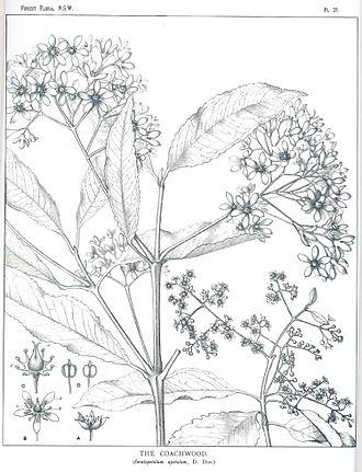 Ceratopetalum apetalum - Ceratopetalum apetalum