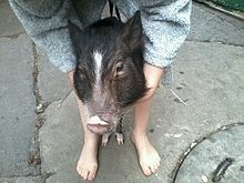 Asian miniature pigs photo 46