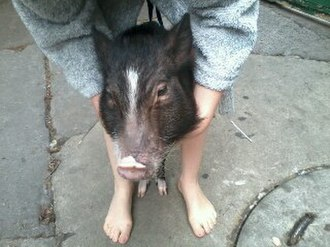Miniature pig - Young Choctaw hog mix on the streets of Condesa neighborhood (Cuauhtémoc borough, Mexico City) during an earthquake in May 2014